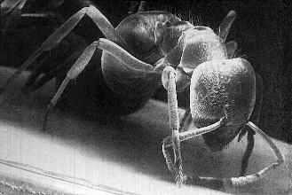 Bug-Ant